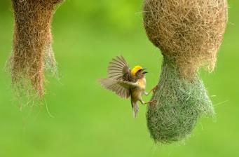 weaver bird's nest